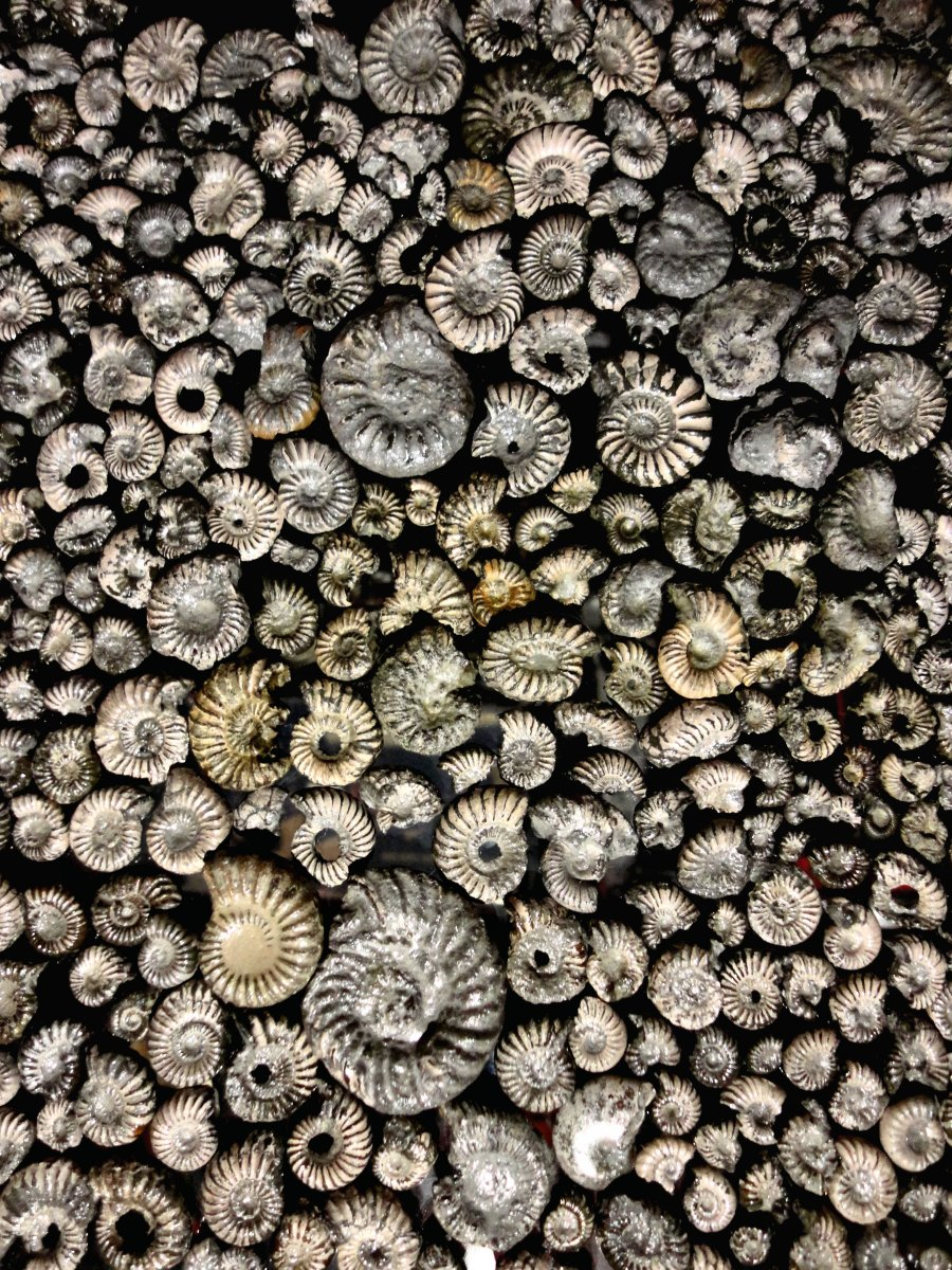 Pyritised ammonites from Golden Cap, near 